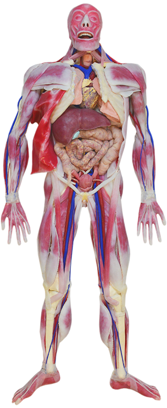 SynDaver Anatomy Model Image