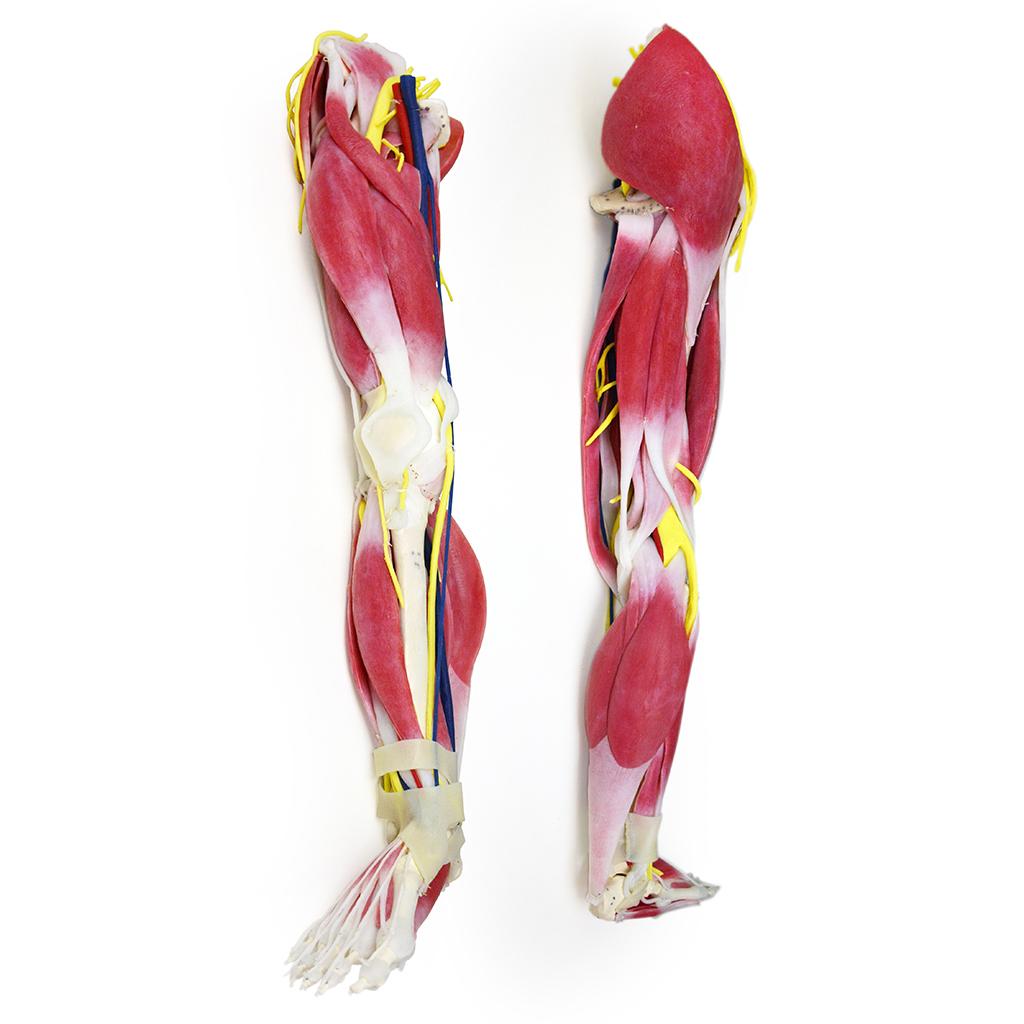 SynDaver Anatomy Leg Image
